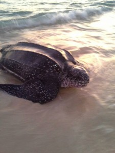 Leatherback turtle on Carriacou