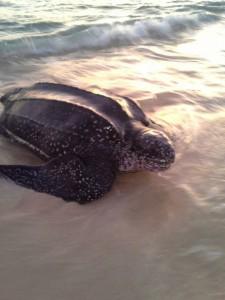 Leatherback turtle on Carriacou